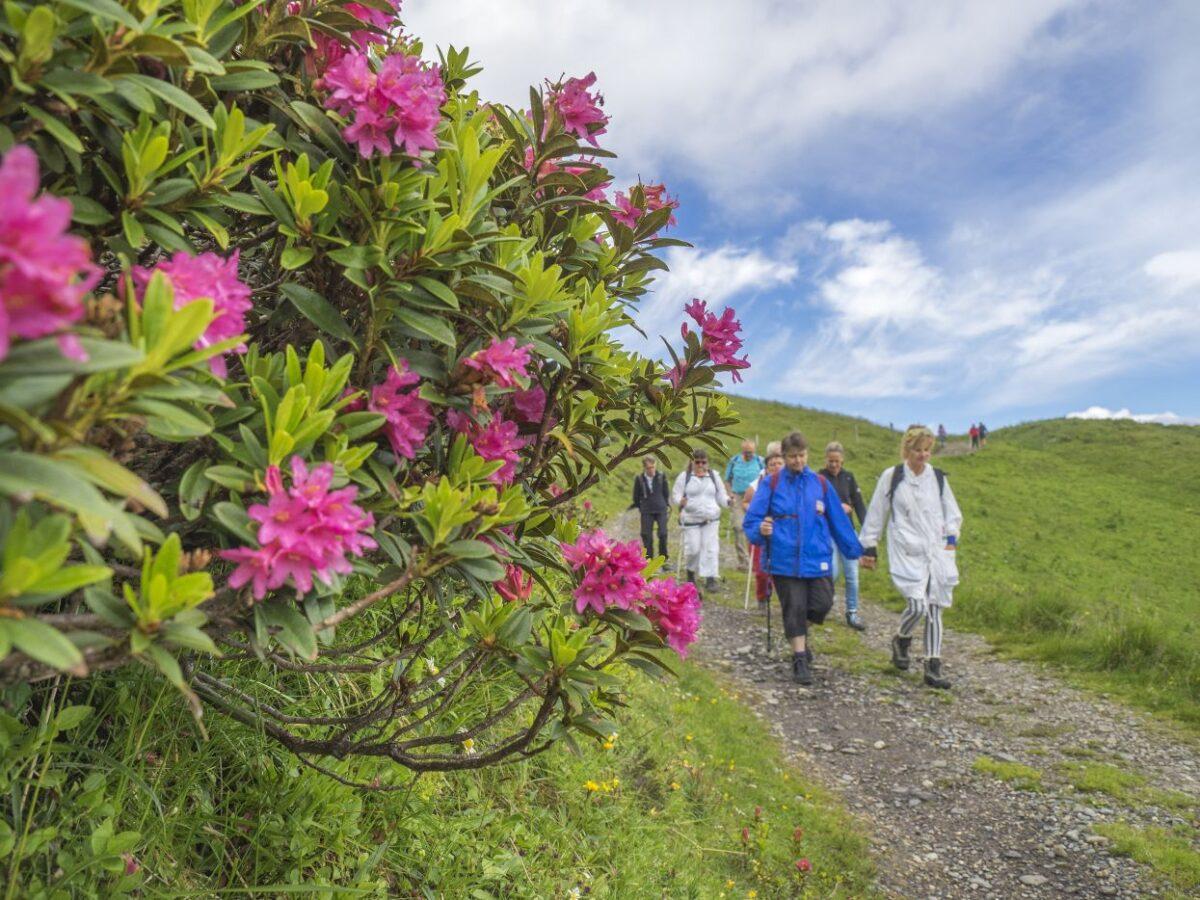 Roses alpines avec groupe de randonnée CAB en arrière-plan